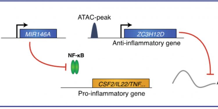A molecular network to balance inflammatory programs in immune cells