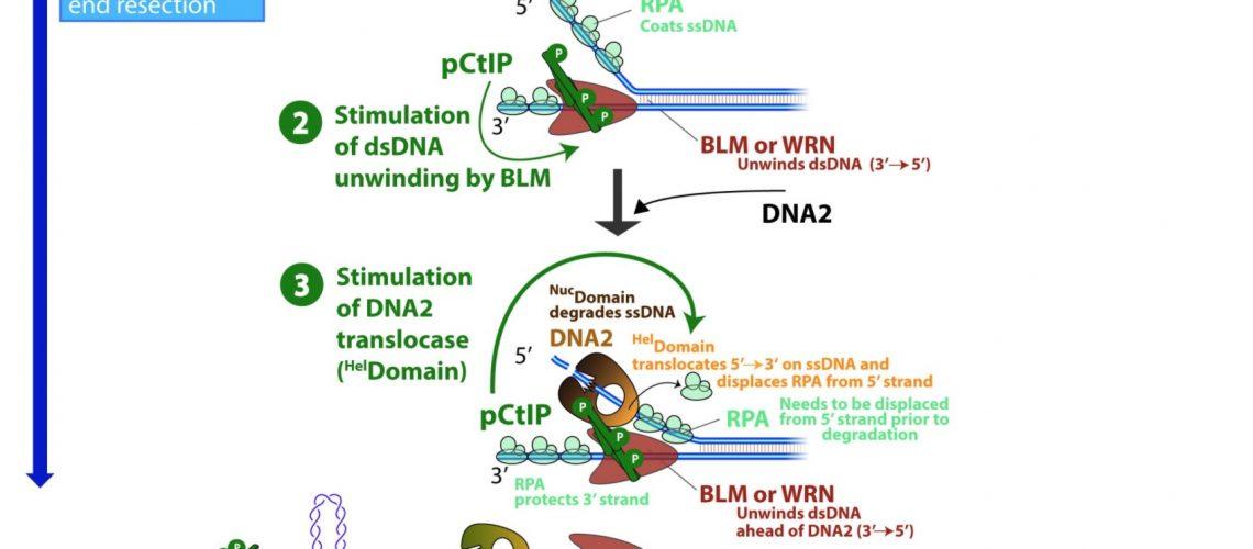 New paper from Cejka's Lab : CtIP promotes DNA break repair