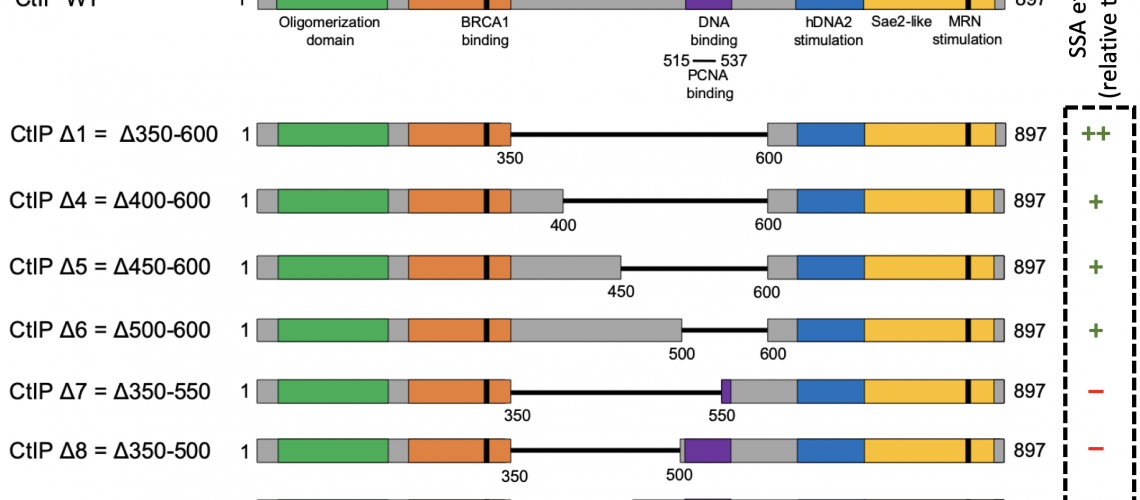 The internal region of CtIP inhibits single strand annealing. Schematic of Sae2 and CtIP protein variants used in this study. Key domains and phosphorylation sites (P) are indicated. Missing amino acid regions in CtIP internal deletion mutants are indicated by a black line.